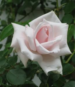 Roses001
