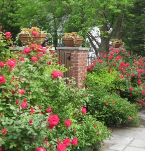 Roses0121