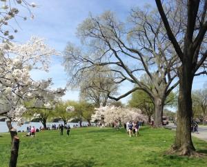 Cherry Blossoms 026