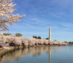 Cherry Blossoms 031