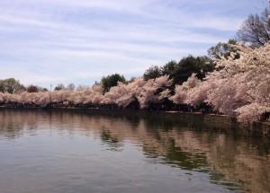 Cherry Blossoms 033