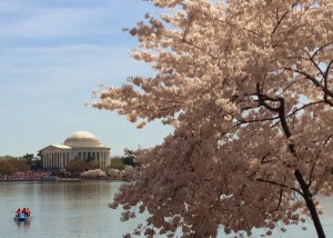 Cherry Blossoms 040